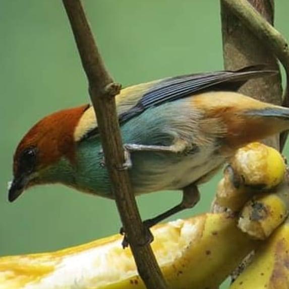 Bird Watching - Observação de Aves